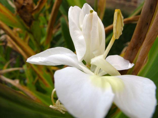 Hedychium coronarium (Ginger lily)