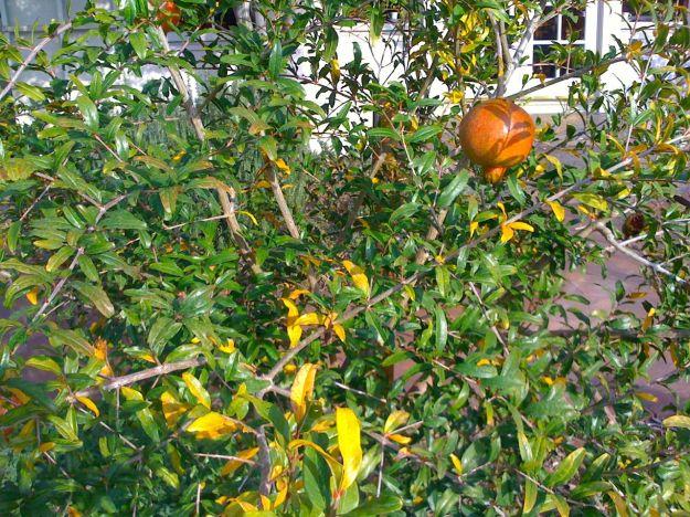 Pomegranate (Punica granatum)