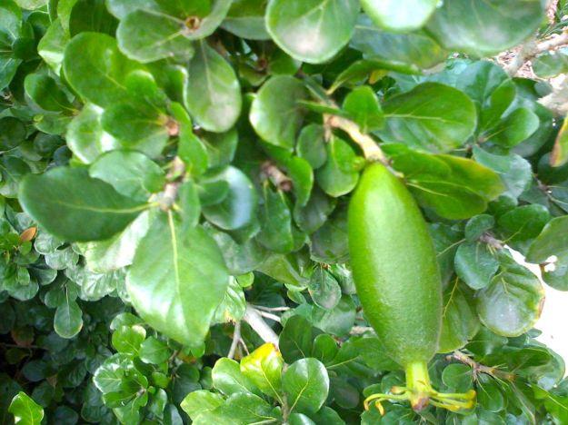 Hips on Gardenia cornuta