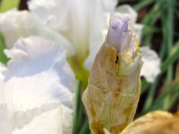 Iris germanica (Bearded iris)--the bud is lavender color