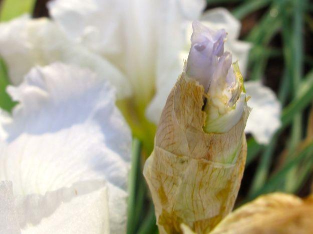 Iris germanica (Bearded iris)--the bud is lavender color