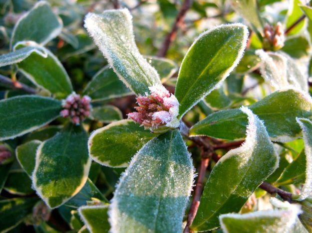 Daphne odora (Winter daphne)