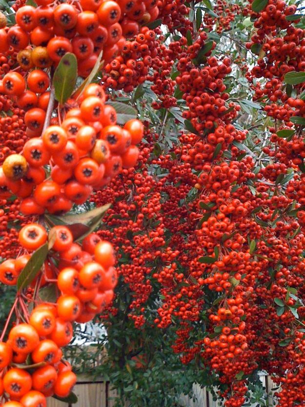 Draping Red Berries-2