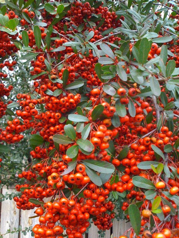 Draping Red Berries-3
