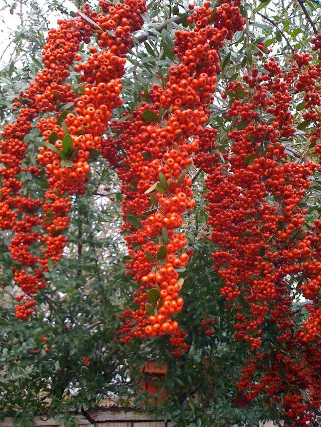Draping Red Berries