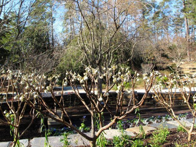 Edgeworthia Chrysantha (Chinese Paper Bush)
