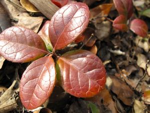 Gaultheria procumbens (Eastern Teaberry)-2