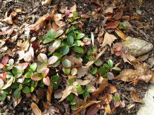 Gaultheria procumbens (Eastern Teaberry)