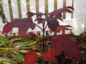 Hydrangea quercifolia 'Ruby Slippers'  (Lil' Ruby dwarf Oakleaf Hydrangea)-2
