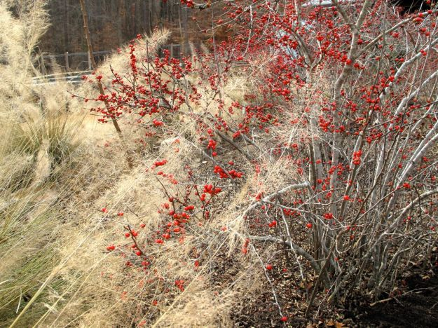 Ilex verticillata (Common Winterberry) at NCBG