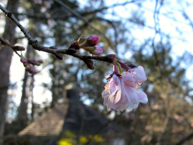 Prunus subhirtella 'Autumnalis' Autumn Higan Cherry