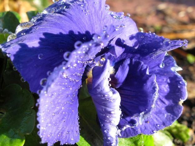 Viola 'Delta True Blue' (Pansy)