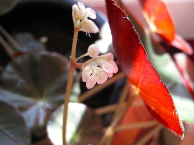 Begonia 'Erythrophylla' (Beefsteak Begonia)