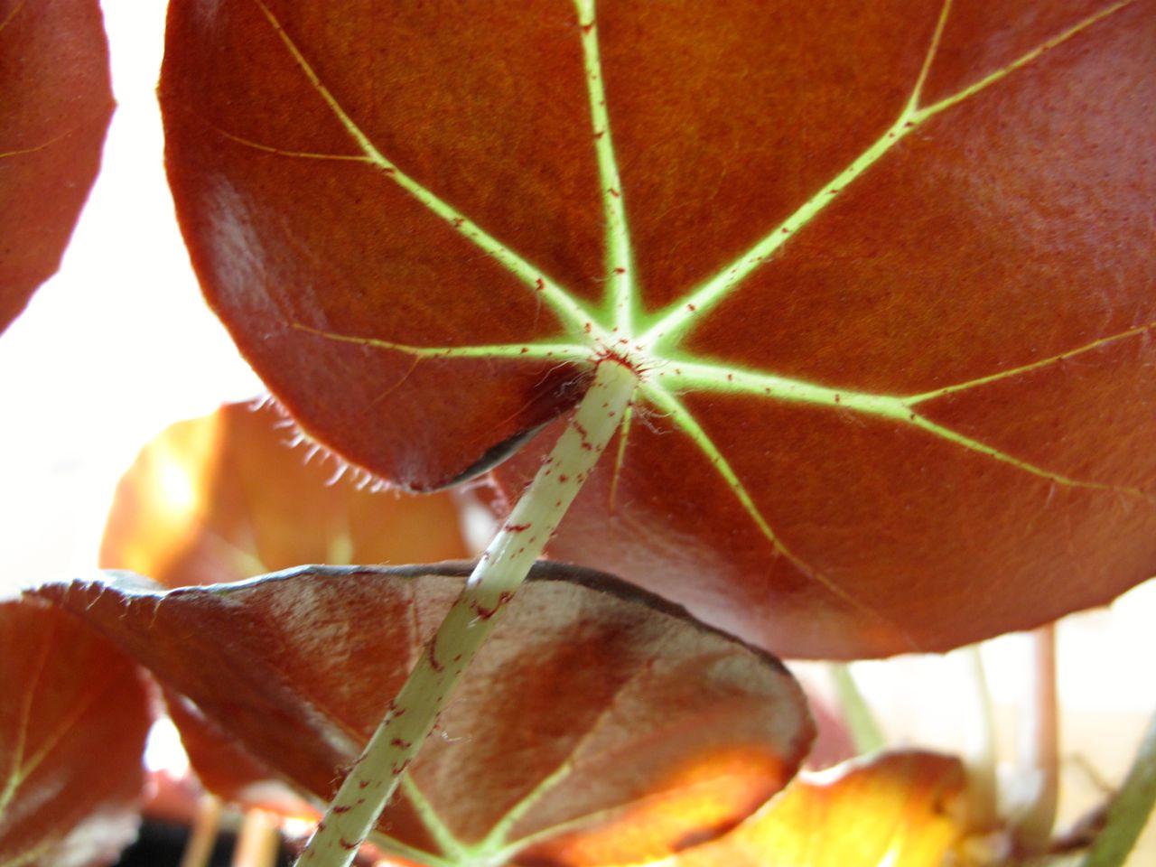 Begonia 'Erythrophylla' (Beefsteak Begonia) | pbmGarden