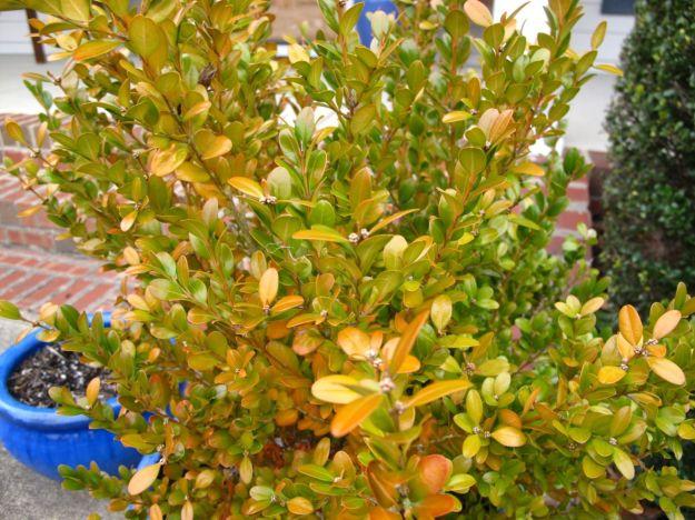 Buxus microphylla var koreana 'Wintergreen' (Wintergreen boxwood)-3