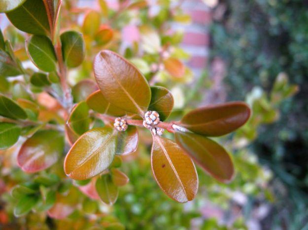 Buxus microphylla var koreana 'Wintergreen' (Wintergreen boxwood)
