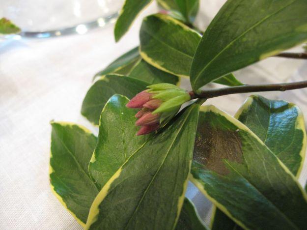 Daphne odora 'Aureomarginata' (Winter daphne)-2