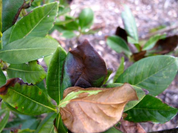 Signs of cold damage on Gardenia jasminoides 'August Beauty' (Gardenia)