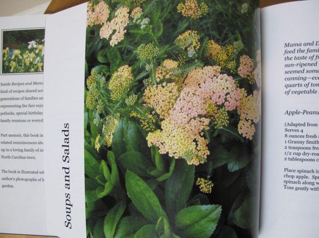Achillea x 'Appleblossom' (Yarrow) and Shasta daisy foliage