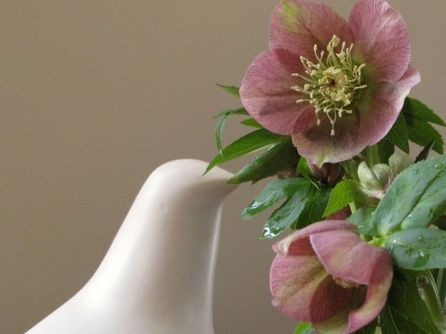 Dove and Helleborus x hybridus (Lenten rose)