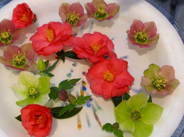 Camellia x 'Coral Delight and Helleborus x hybridus (Lenten rose)-3