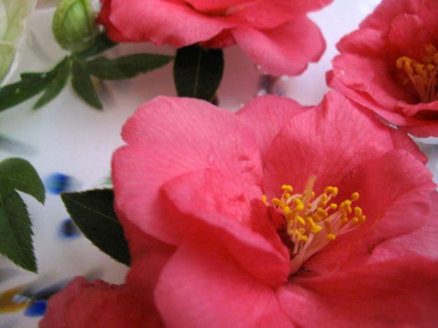 Camellia x 'Coral Delight and Helleborus x hybridus (Lenten rose)-4