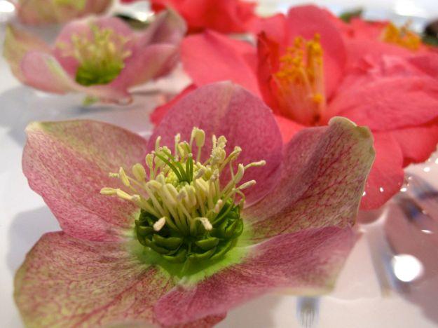 Camellia x 'Coral Delight and Helleborus x hybridus (Lenten rose)-6