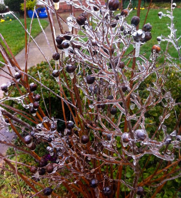 Ice on Lagerstroemia (Crape Myrtle)