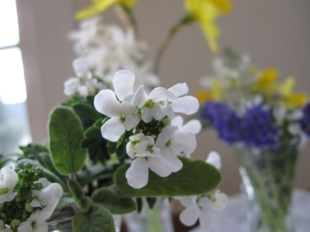 Creamy white flowers of Iberis sempervirens (Candytuft)