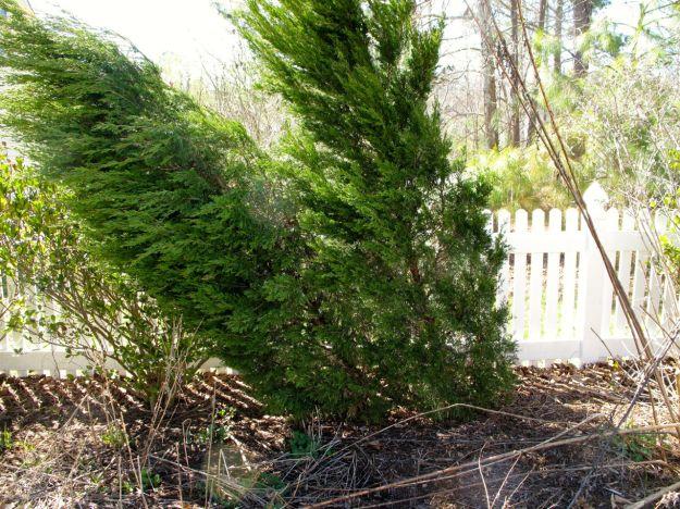 Juniperus chinensis 'Spartan' (Spartan juniper)