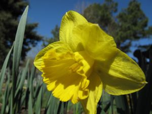 This Narcissus 'King Alfred' weathered the recent ice storm