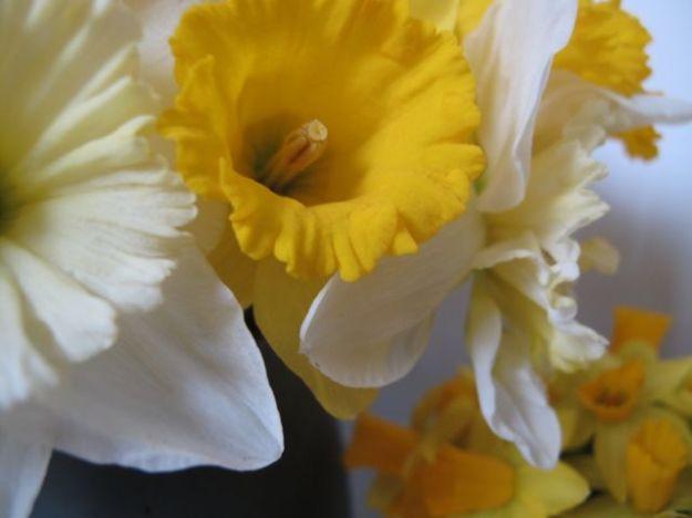 Narcissus4