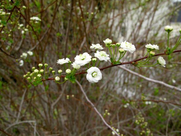2014  Spiraea flowers