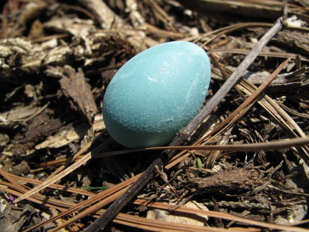 American Robin's Egg