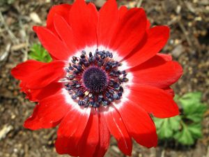 Anemone coronaria 'Governor' (Governor Double Poppy Anemone)