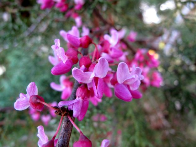 Cercis canadensis L. (Eastern Redbud)