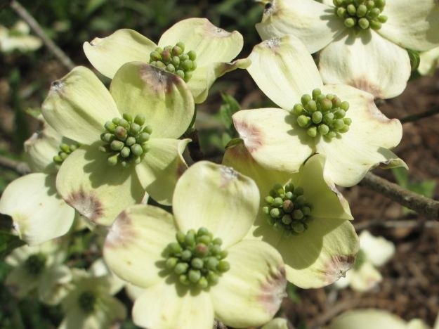 Cornus florida (Flowering Dogwood)