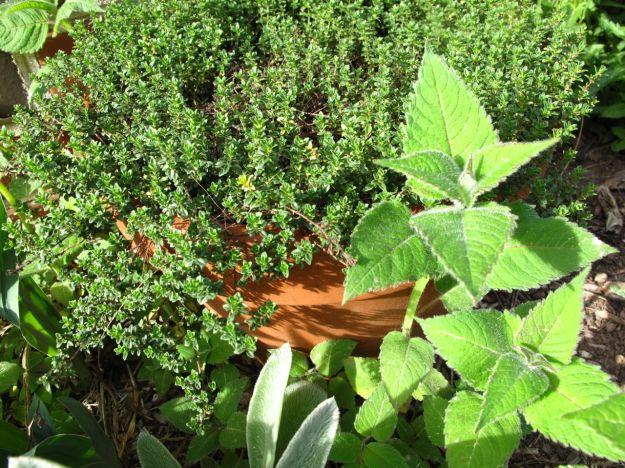 Creeping Lemon Thyme and Monarda didyma (Scarlet Beebalm)