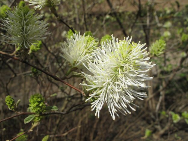 Fothergilla major (Witch-hazel family - Hamamelidaceae