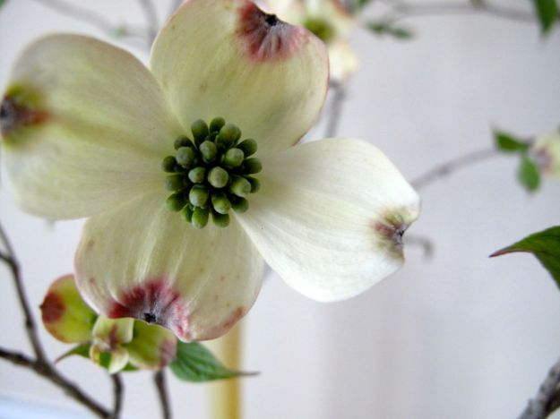 In A Vase On Monday-Flowering Dogwood-4