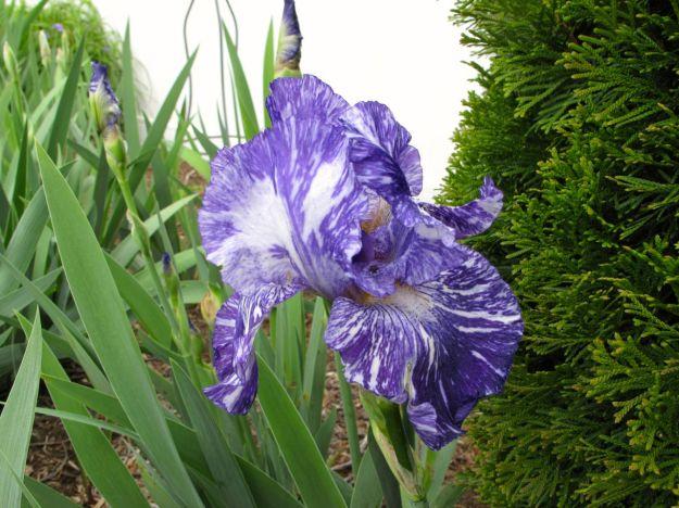 Iris germanica 'Batik'