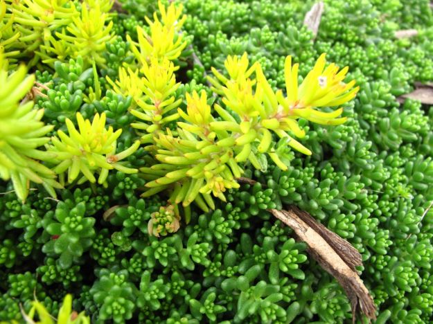 Mixed Sedum