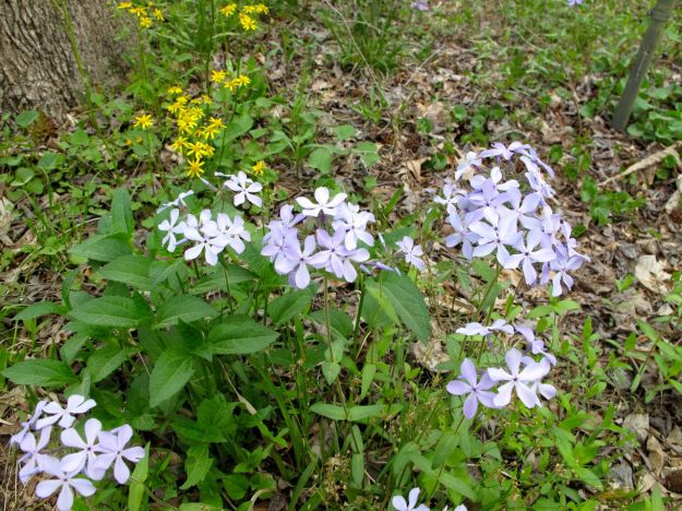 Golden Ragwort and Eastern Blue Phlox are eastern North American natives.