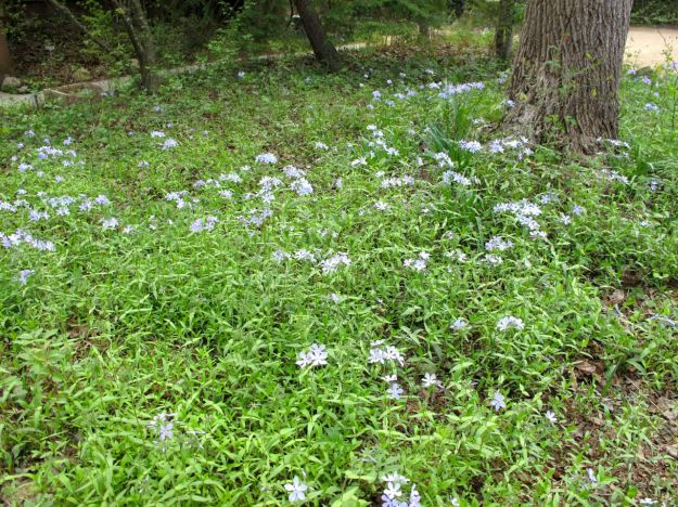 Phlox divaricata (Eastern Blue Phlox)
