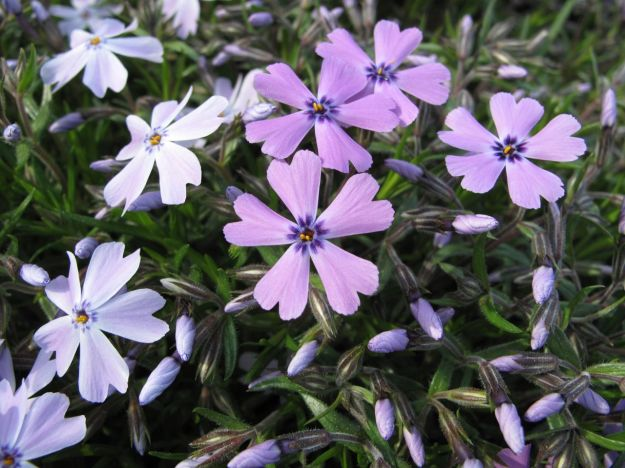 On the left is Phlox subulata 'Emerald Cushion Blue' and on the right, 'Purple Beauty'.