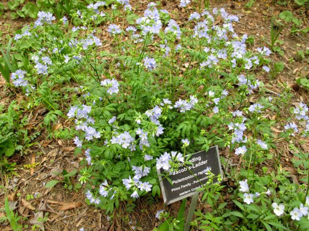 Polemonium reptans (Spreading Jacob's Ladder)