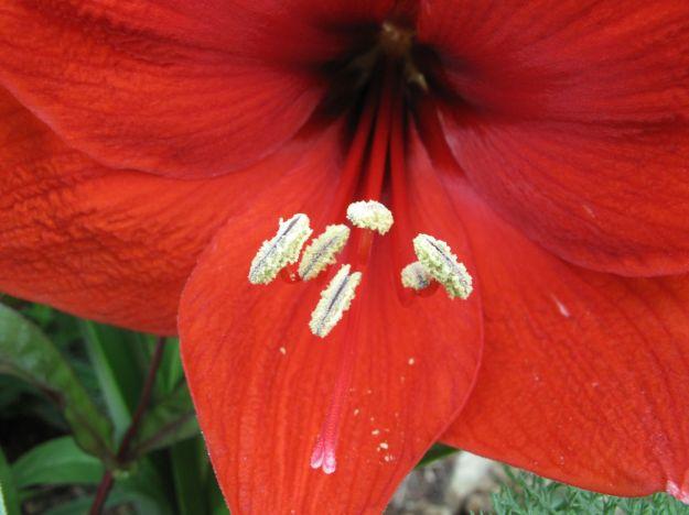 Hippeastrum (Amaryllis)