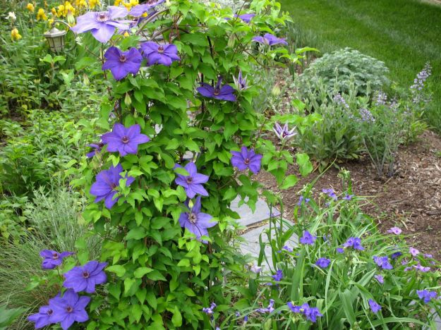 Clematis 'Jackmanii' in Southern Side Path