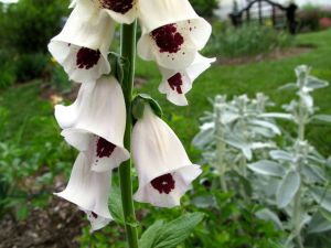 Digitalis purpurea 'Pam's Choice' (Pam's Choice Foxglove)