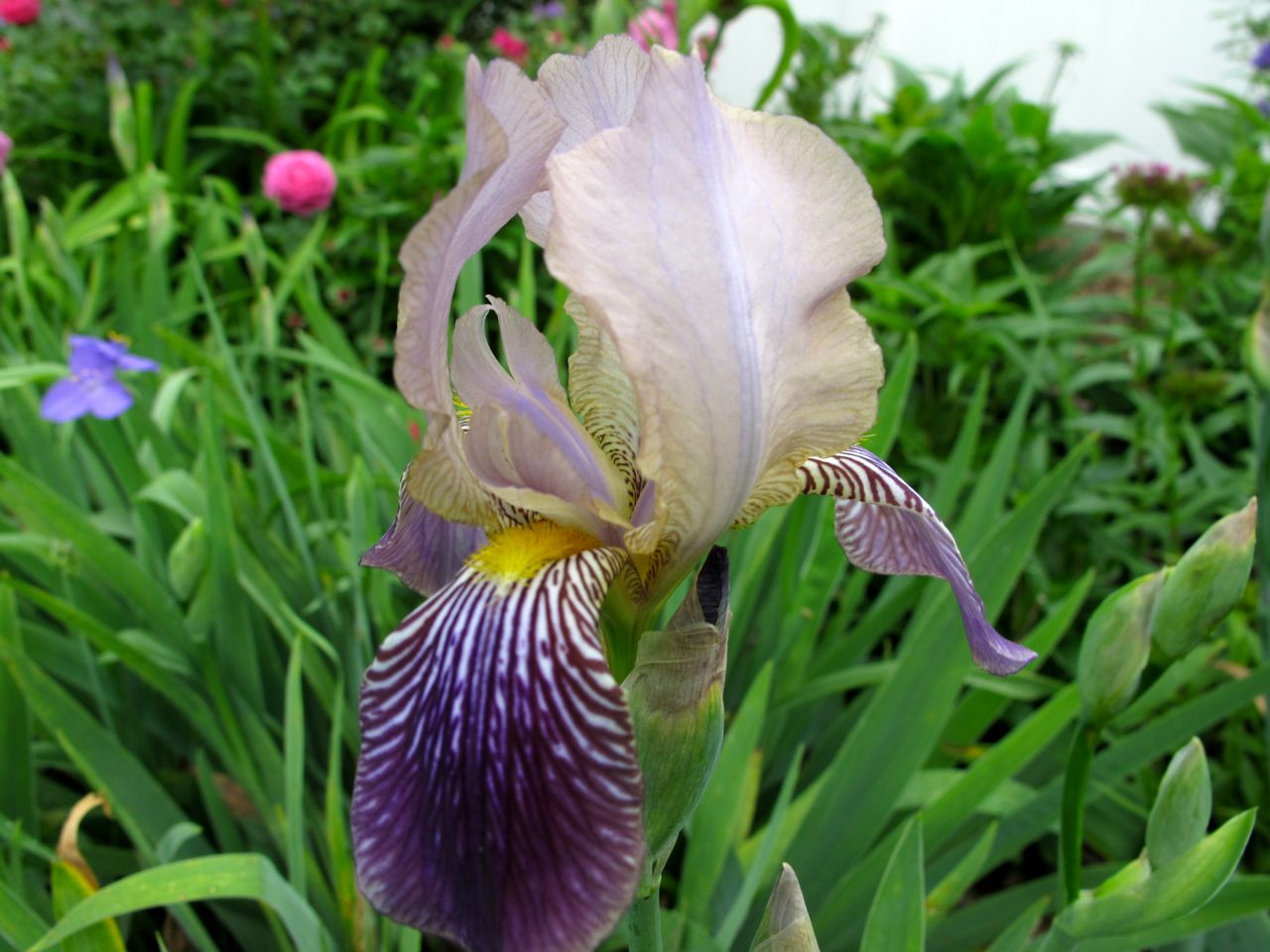Bearded iris pbmgarden - Iris germanica ...